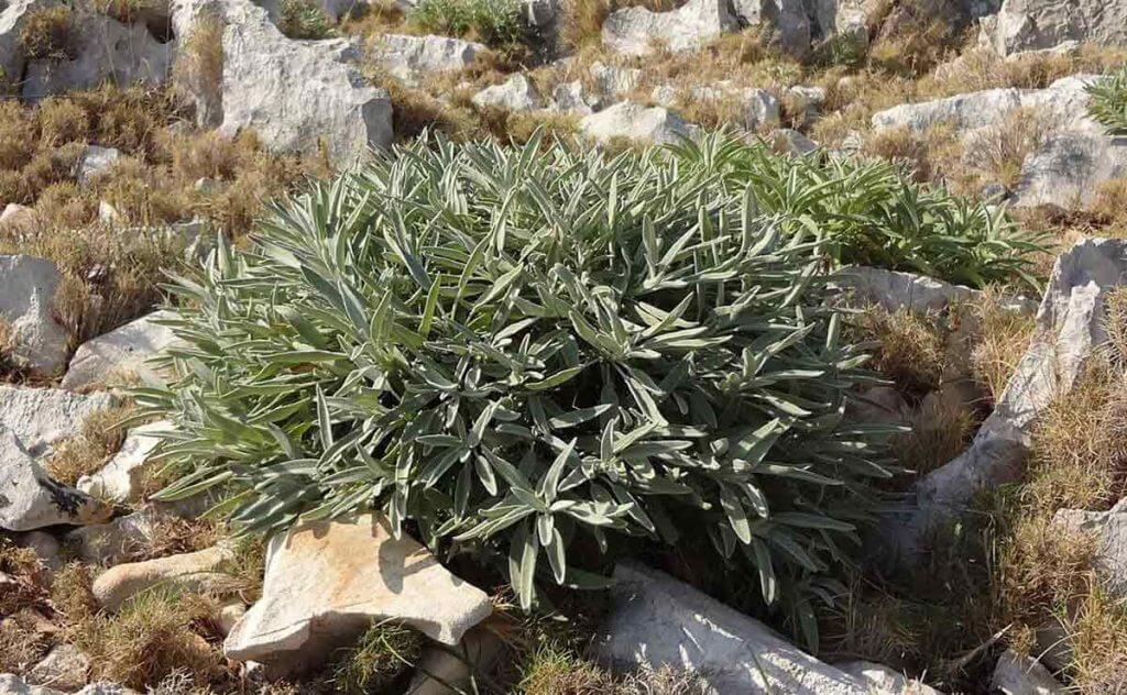 Sage bush (Salvia officinalis)
